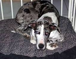 Image Result For Great Dane Australian Shepherd Mix Great Dane