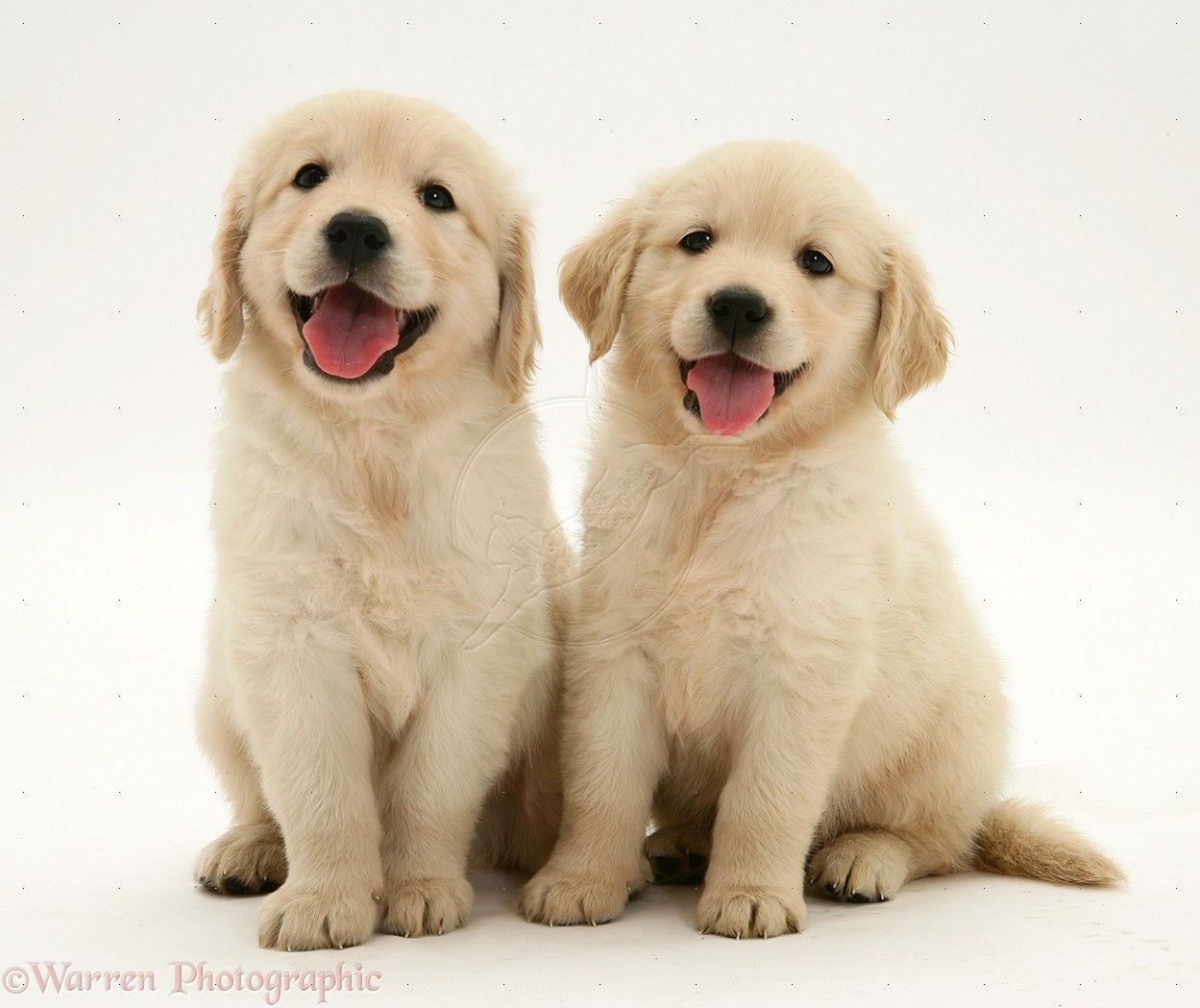 Download Wallpapers Golden Retriever Puppies Pets Labradors