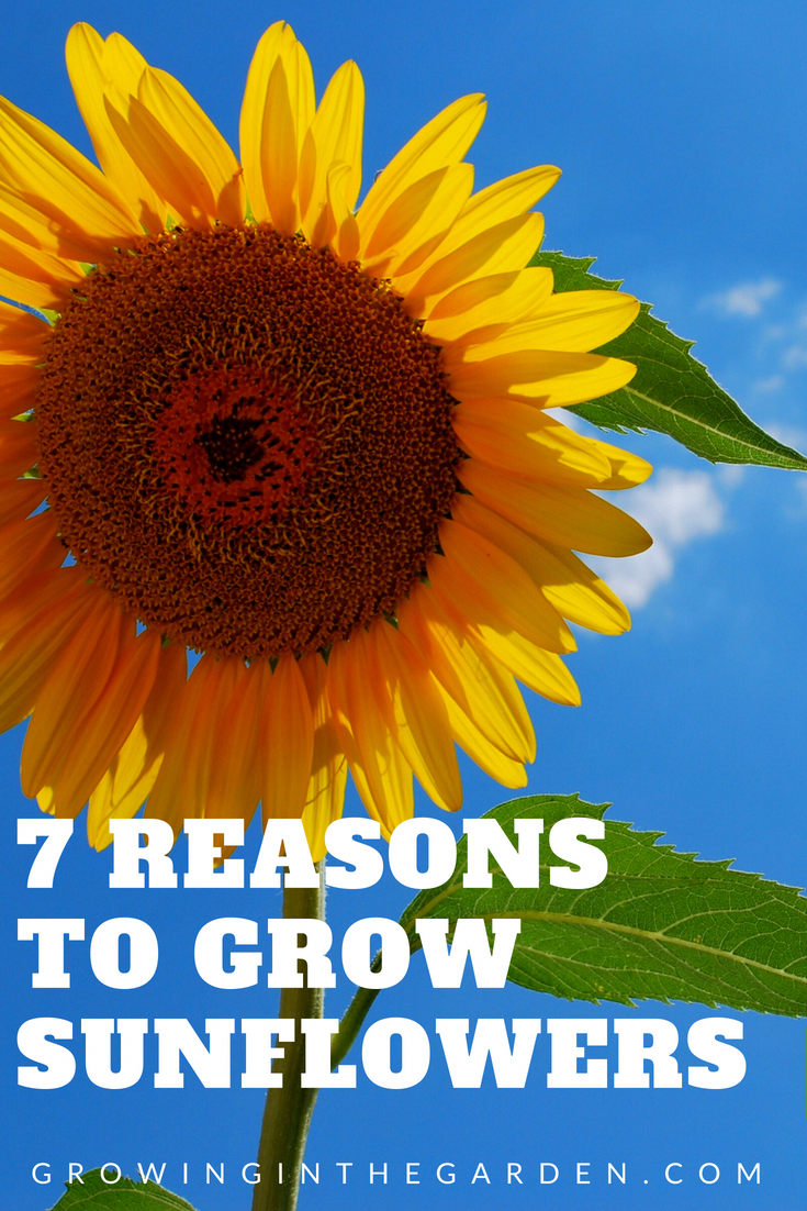 How to Grow Sunflowers is part of Growing sunflowers, Edible garden, Sunflower garden, Organic vegetable garden, Planting sunflowers, Wildflower garden - Sunflowers are a great addition to a summer garden  Learn how to grow sunflowers and how to put them to work in your garden