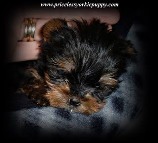 Teacup Yorkie Puppies For Sale In Michigan Michigan Yorkie Breeder Teacup Yorkies Teacup Yorkie Teacup P Yorkie Puppy For Sale Yorkie Puppy Yorkie Breeders