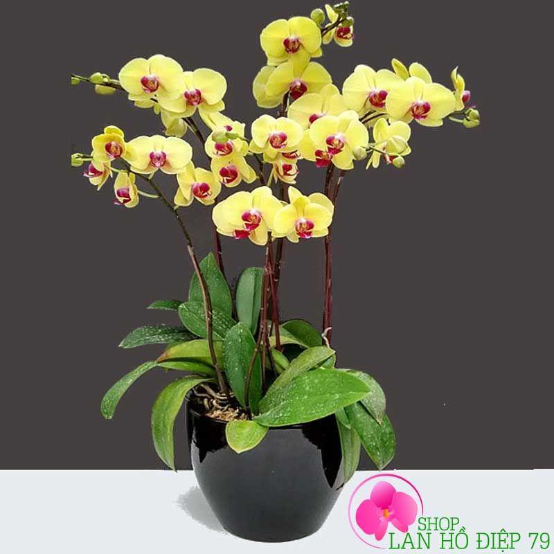 Kỹ thuật trồng và chăm sóc cây hoa lan hồ điệp trong chậu đẹp nhất ...