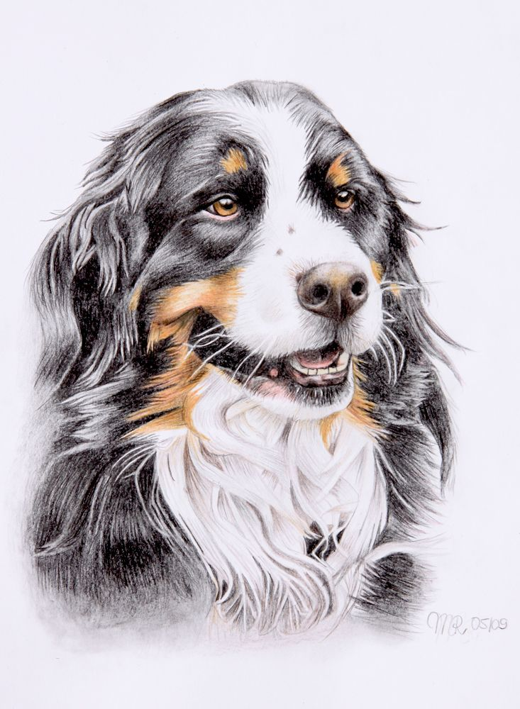sennenhund deviantart mountain dogs drawing
