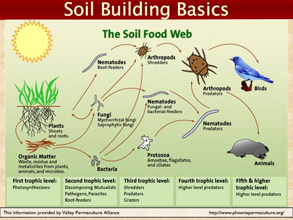 This is the second stage of the soil food web: (With ...