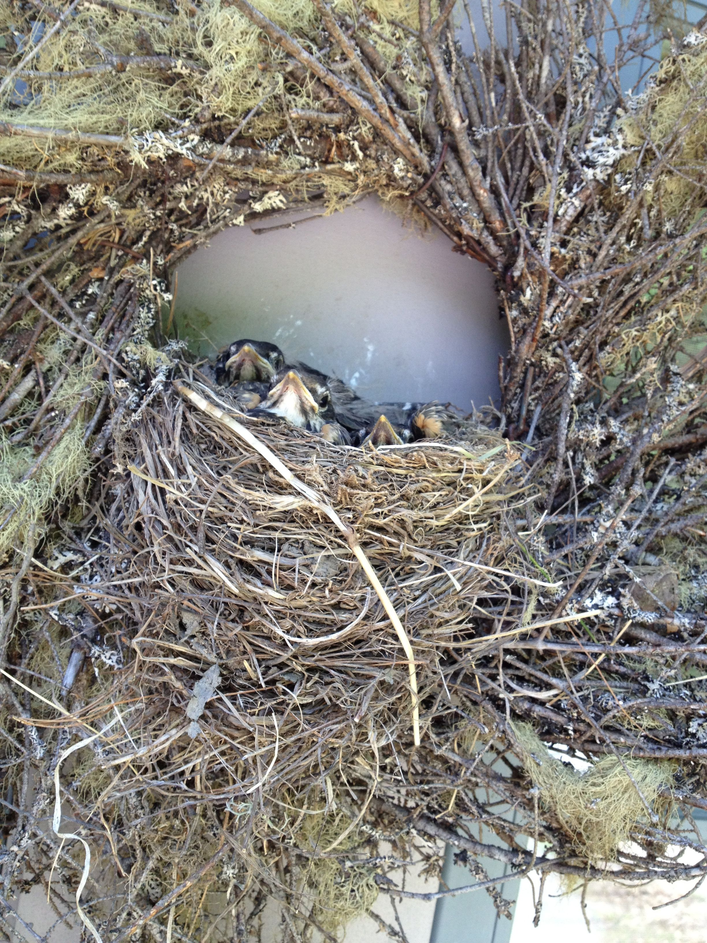 a robin built a nest in the center of our twig wreath outside mudroom.  Baby birds!