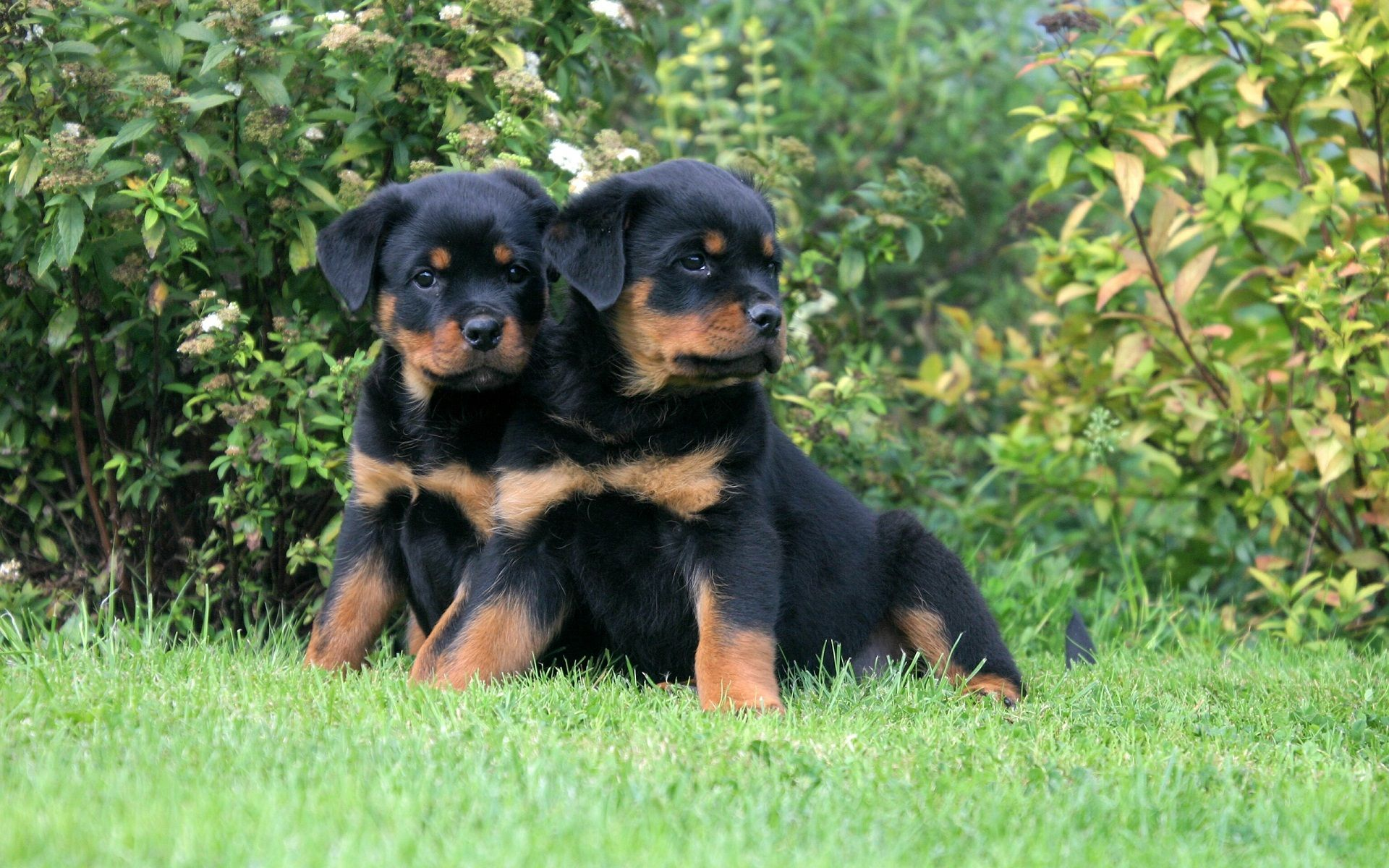Apollo Artemis The Rottweiler Puppies Jonathan And Sophie Get