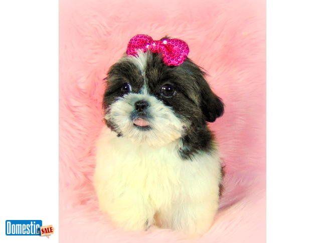 Palm Springs California United States Shih Tzu Cute Puppies