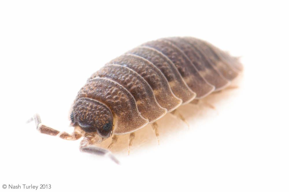 Woodlouse | Gorgeous and Adorable