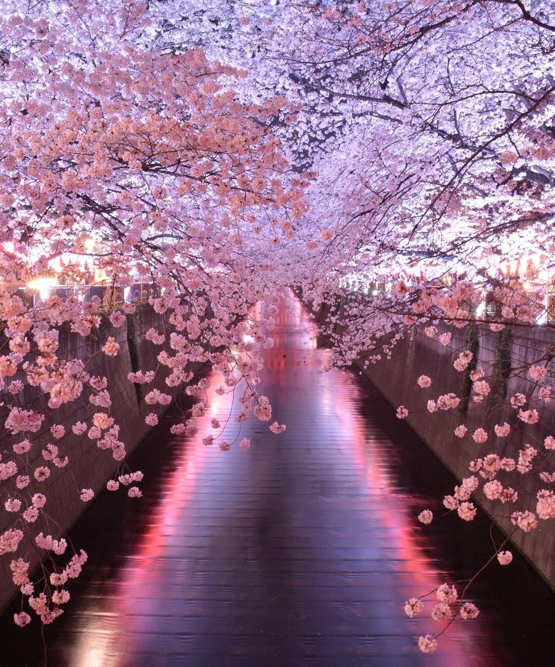 Meguro River Japan Tokyo Wisteria Tree Pink Flowering Trees Tree Tunnel