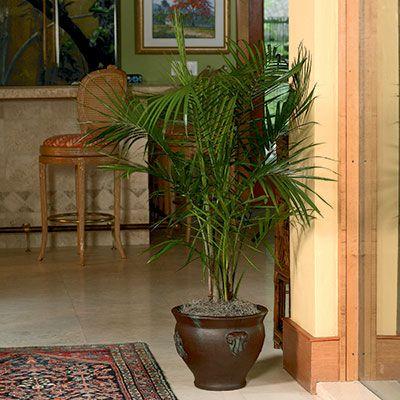 Majesty Palm Ravenea Rivularis