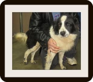 Chester Springs Pa Border Collie Meet Bingo A Dog For Adoption