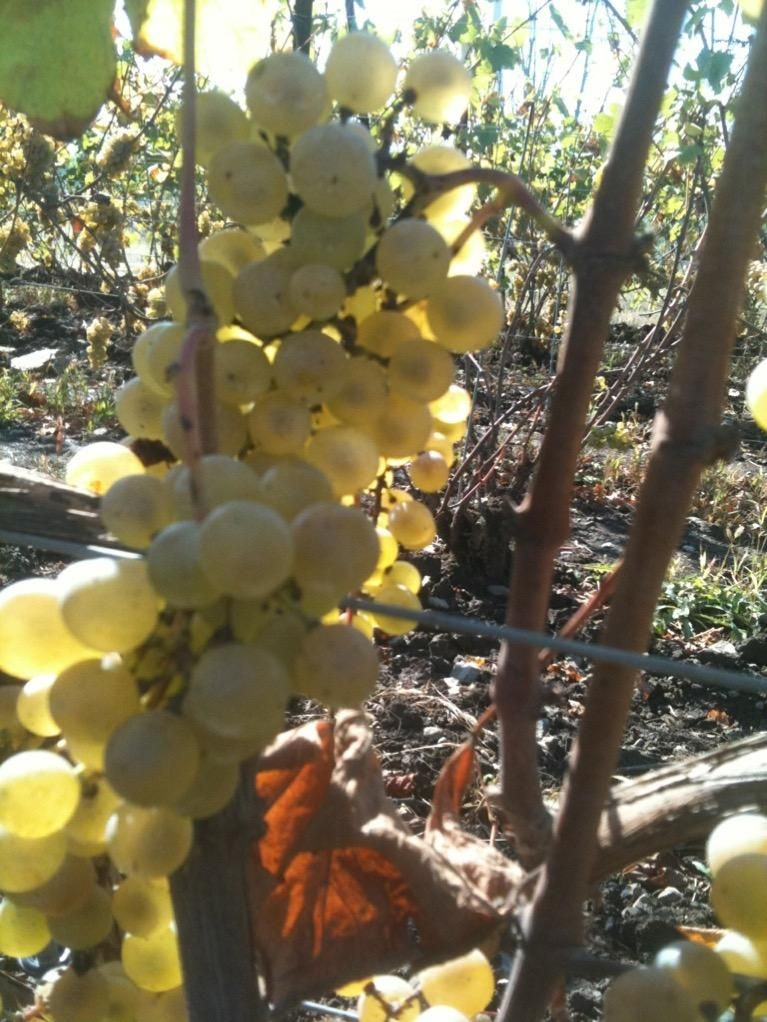 Waiting for the Chardonnay to ripen.