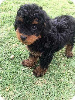 Clovis Nm Australian Shepherd Poodle Toy Or Tea Cup Mix Meet Teddy A Puppy For Adoption Http Www Adopta Puppy Adoption Kitten Adoption Dog Adoption