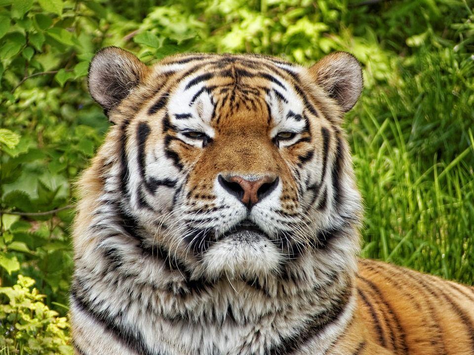 Δωρεάν εικόνα στο Pixabay Φύση, Τίγρη, Ζώα, Μεγάλη Γάτα