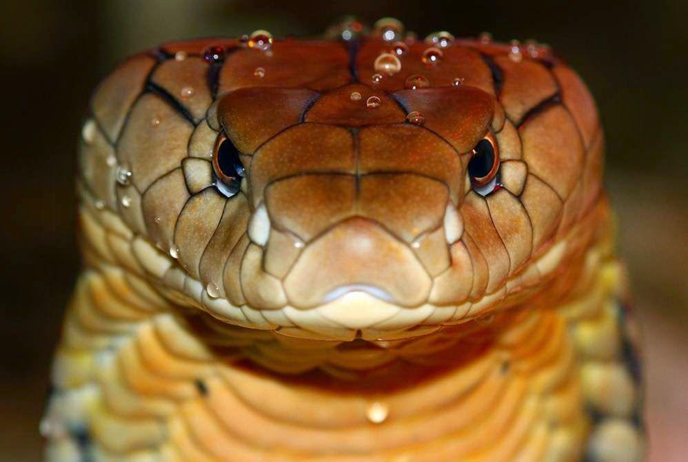 Os 10 Animais Mais Venenosos Do Mundo With Images King Cobra