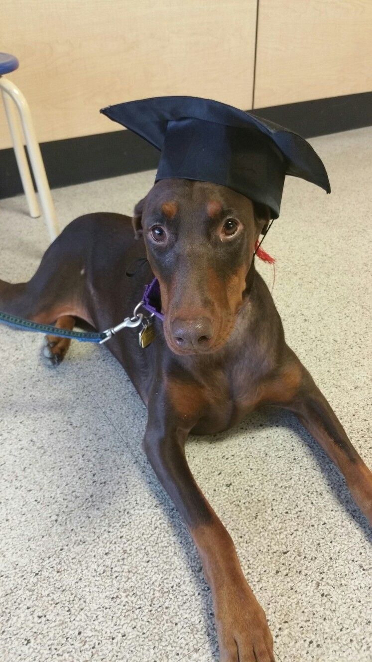 Ginger our rescue doberman graduated from obedience