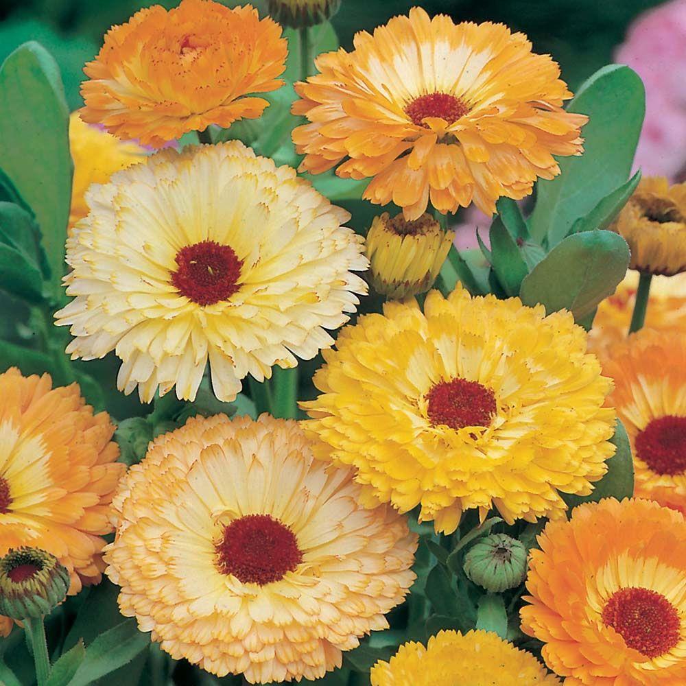 Wilko Seeds Calendula Art Shaded Mixed Flower farm