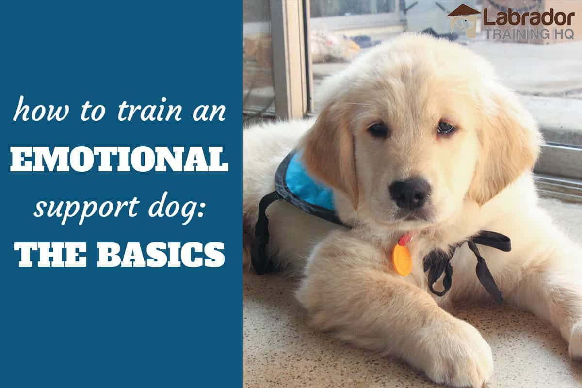 How To Train An Emotional Support Dog The Basics Support Dog
