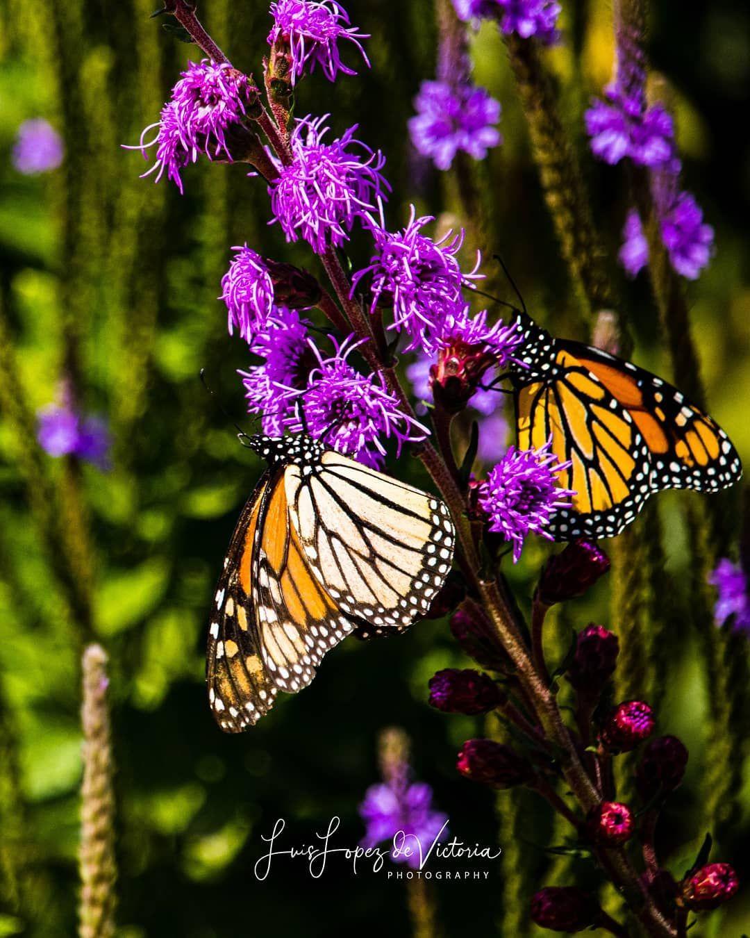 Encuentra la felicidad en los detalles pequeños alrededor de ti 🦋 Find happiness in the small details around you. 🦋 Mariposa Monarca // Monarch Butterfly 🦋 #Monarch #Butterfly #Mariposa #Insects #Fly #happy #nature #instanature #flower #flowerpower #flowers #garden #natural #naturaleza #photooftheday #Photography #monarchbutterfly #comunidadcreativadepr #amor  @minnesotaexposure #minnesotaexposure @thisismyminnesota #thisismymn @captureminnesota #captureminnesota @captivatemn #captivatemn @ex
