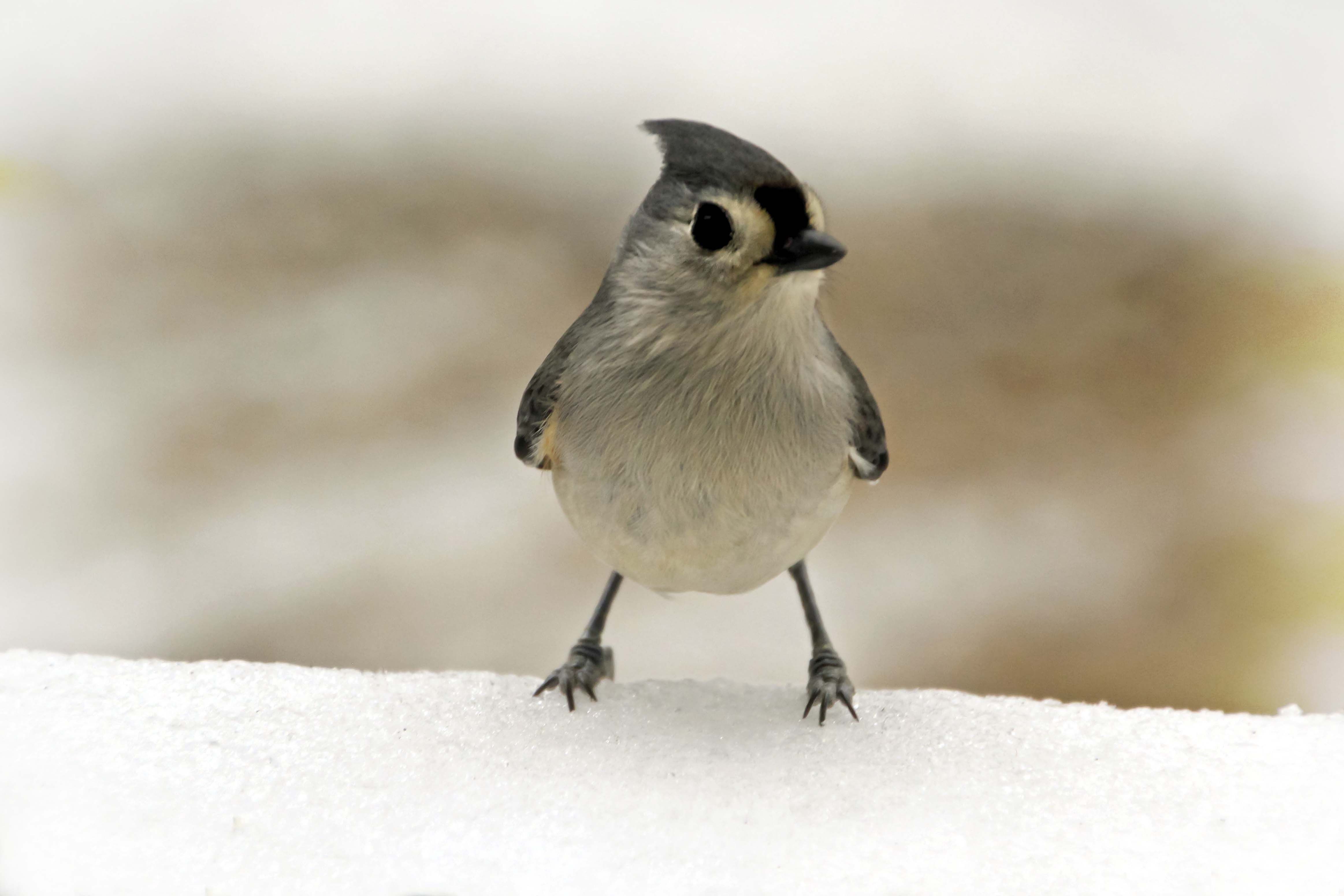 Tufted Titmouse. Is there anything cuter?