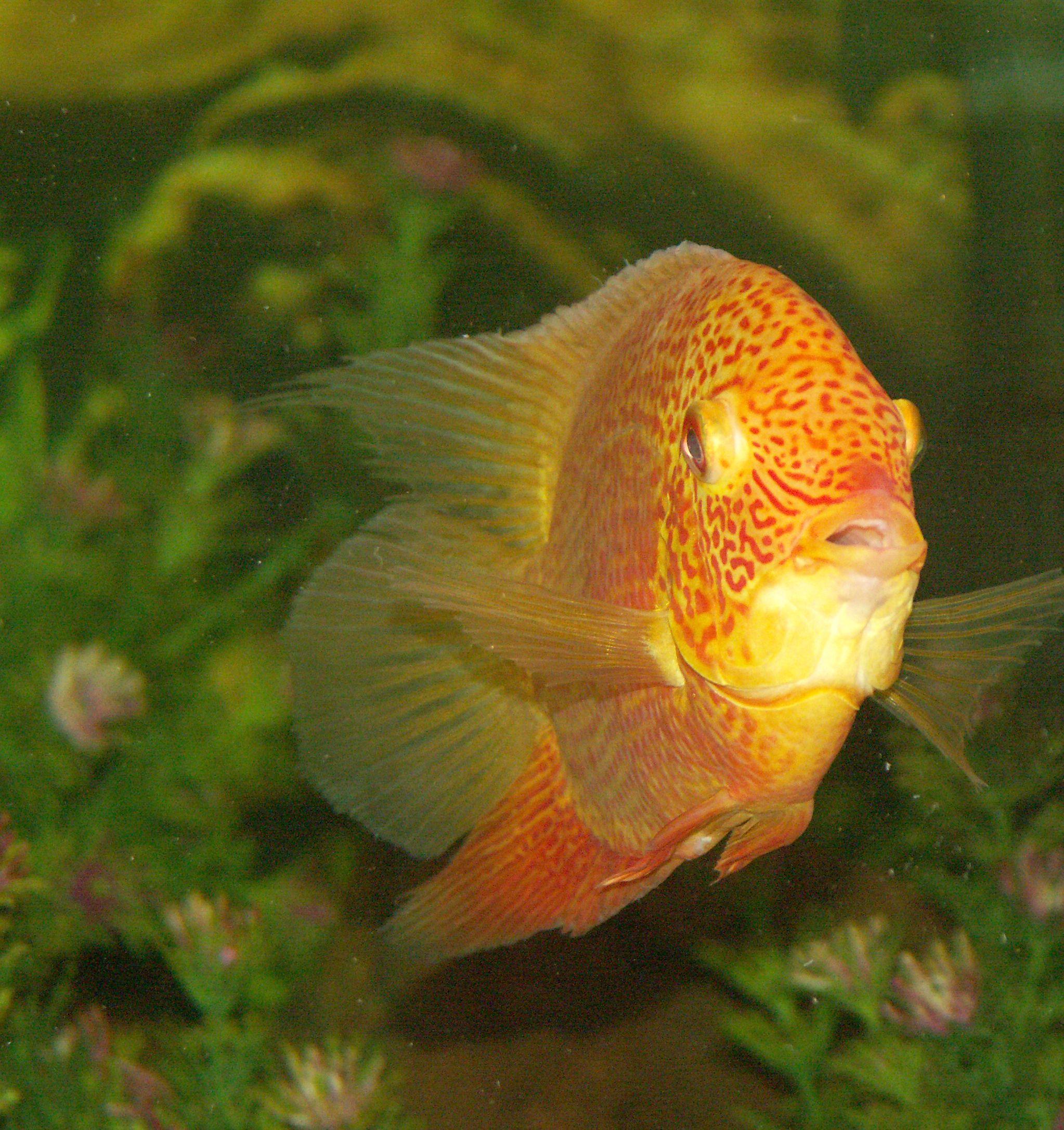 Red Streak Gold Severum Fish Pet Freshwater Fish Red Streaks