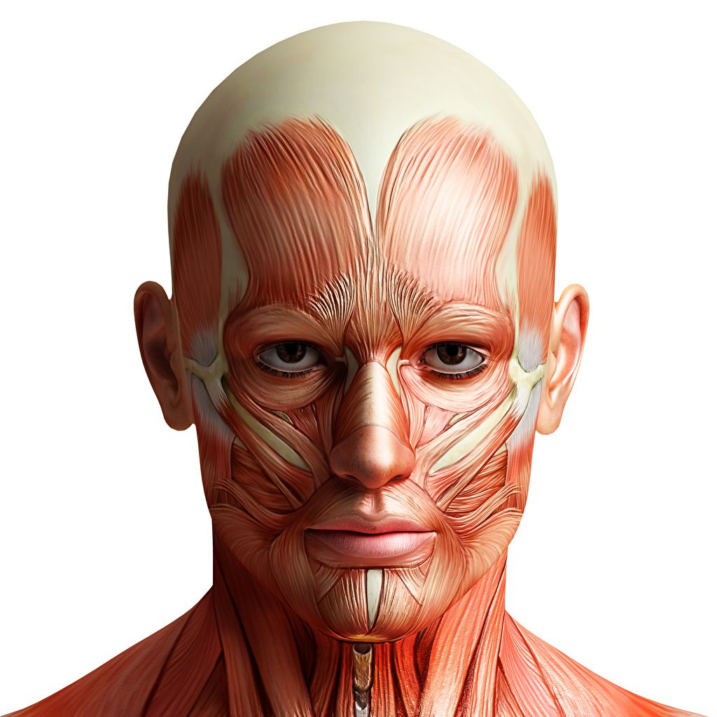 Image result for anatomy of forehead muscles | Anatomy ...