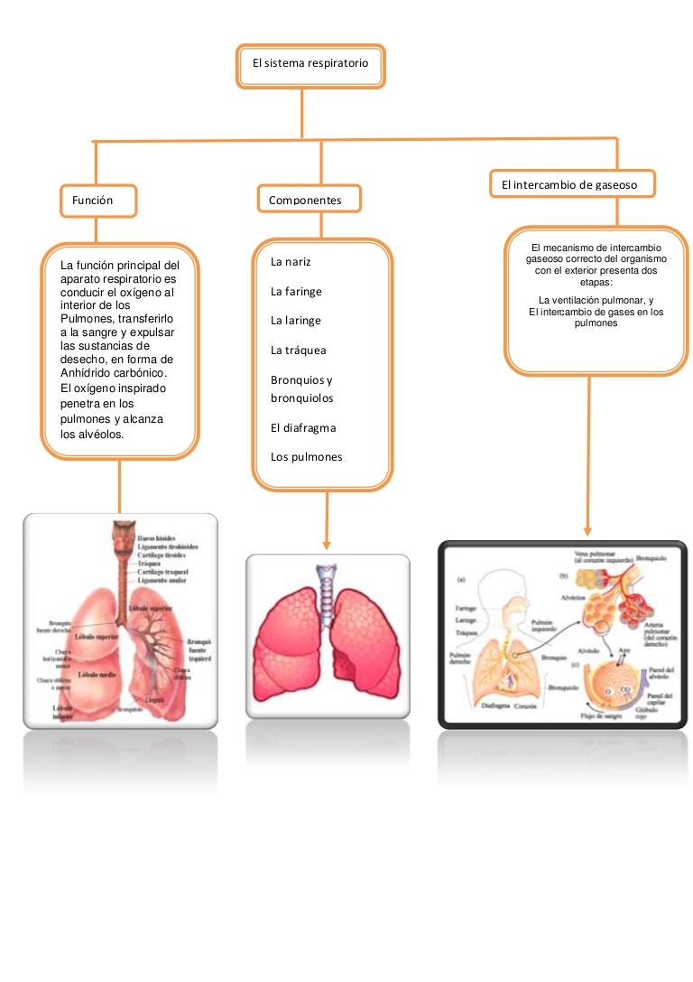 3739515503428016440155186680 7848604739005el Mecanismo De Intercambio Gaseoso Correcto Del Or Sistema Respiratorio Sistema Respiratorio Para Niños Respiratorio