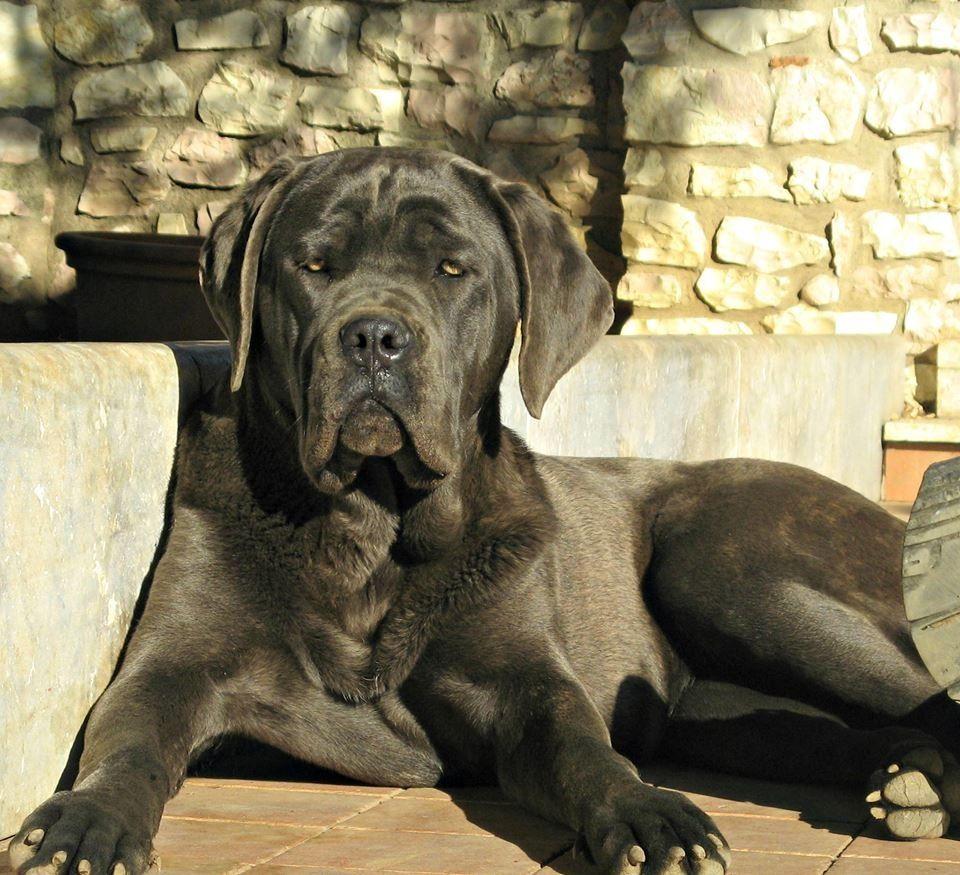 Cane Corso Source Unknown Cane Corso Cane Corso Dog Cane Corso Italian Mastiff