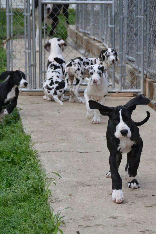 Love Pups Dane Puppies Dane Puppies Great Dane Puppy Dogs