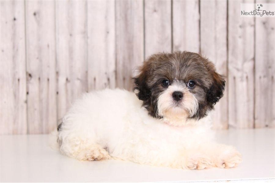 Tux: Shih-Poo - Shihpoo puppy for sale near Columbus, Ohio