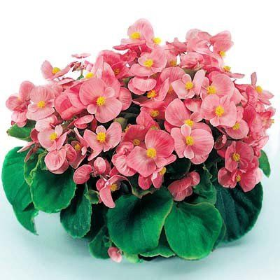 Begonia Super Olympia Pink F1 With Images Begonia Flowers