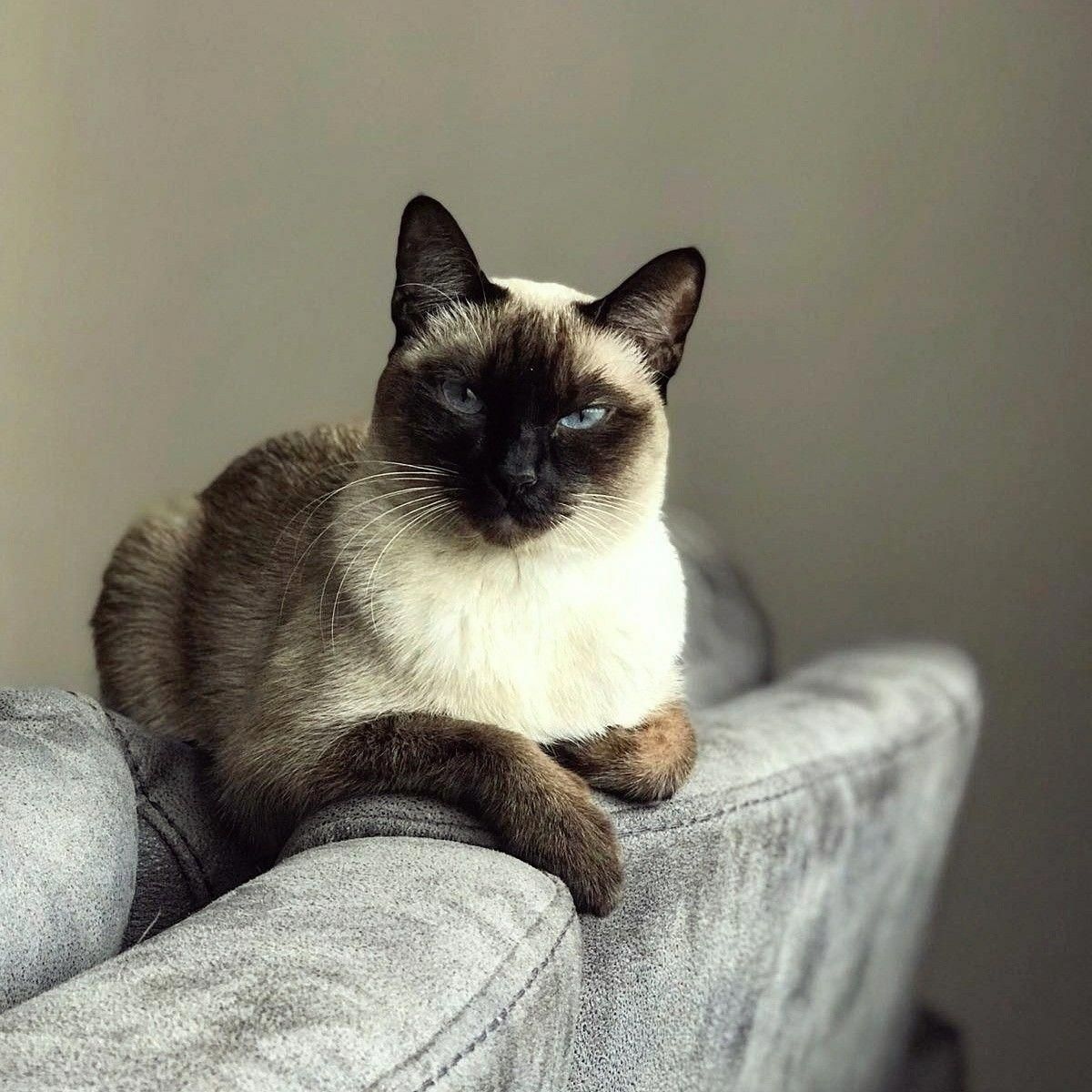 Pin By Patsy Lorentzen On Cats In 2020 Siamese Cats Cats Siamese Cats Facts