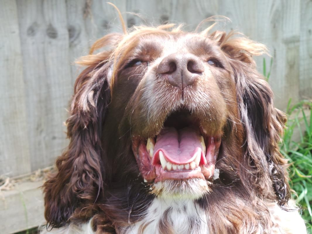 Idea by Rescue Pets on Dogs Spaniels in Rescue Rehoming