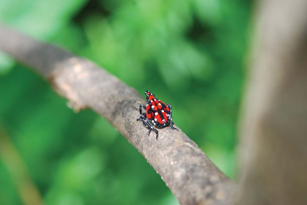 Spotted Lanternfly Management for Homeowners Garden