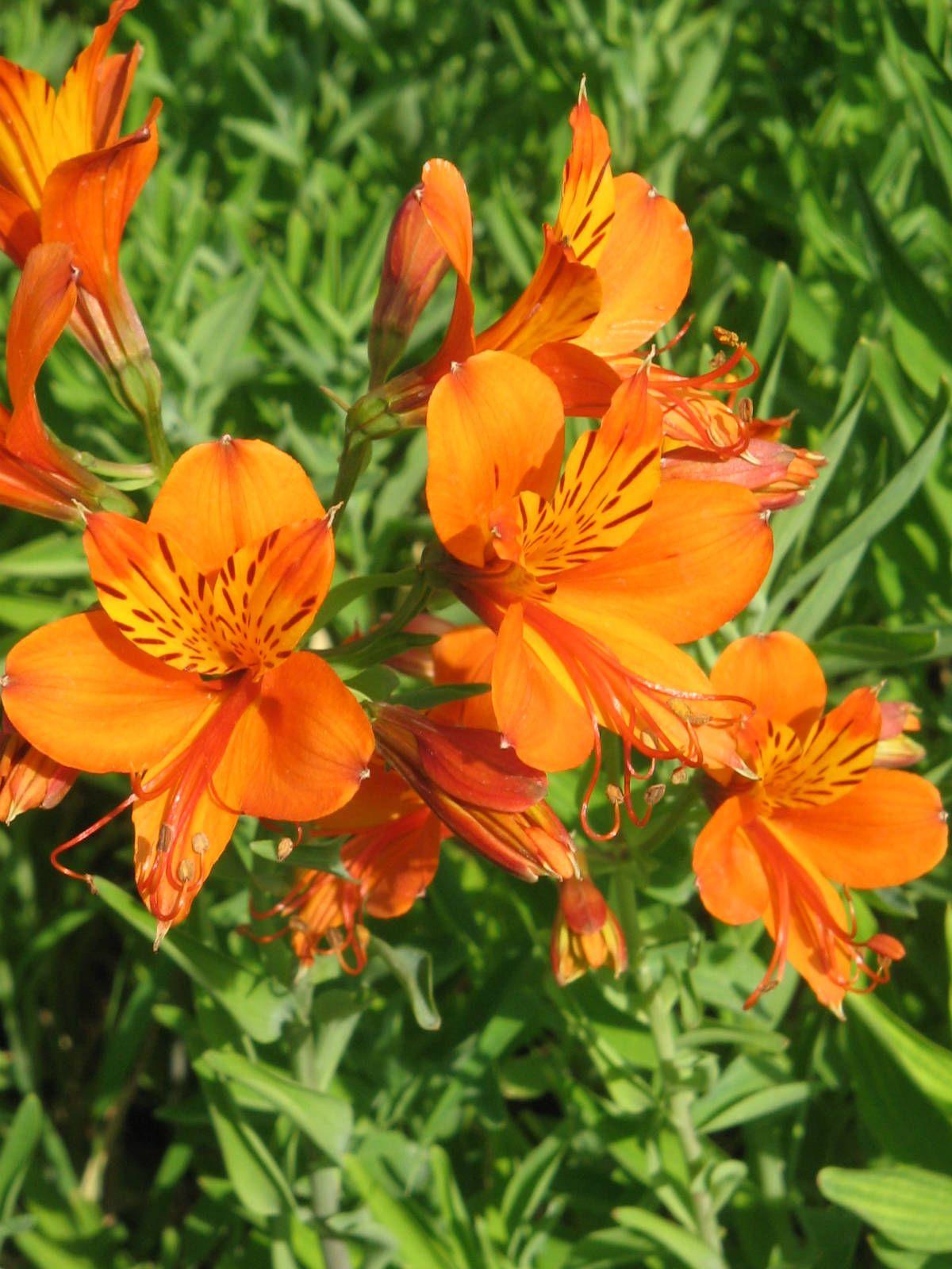 Alstroemeria Aurea Golden Lily Of The Incas Alstroemeria Family