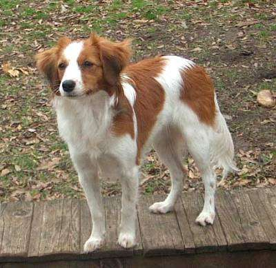Kooikerhondje Small Dutch Waterfowl Dog 1 This Breed Can Be Seen Frequently In Old Master Paintings From The 16th And 17th Centuries Honden Dieren Stenen