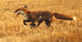 Google Image Result for http://www.irishfoxhunting.ie/images/newfox7k.jpg