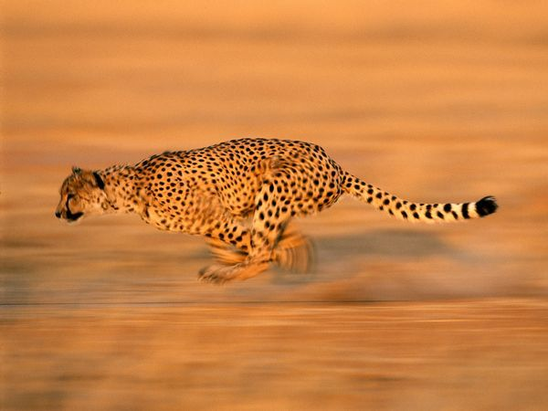 Cheetah National Geographic Cheetah Pictures Big Cats Animals