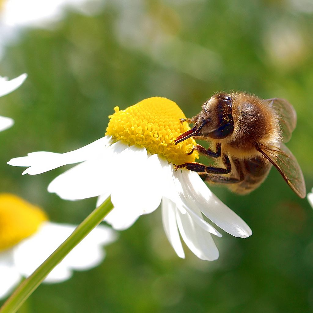 HᎧŋєყ ᏰεεᎦ (A honey bee working on a German Chamomile. | par Bienenwabe)