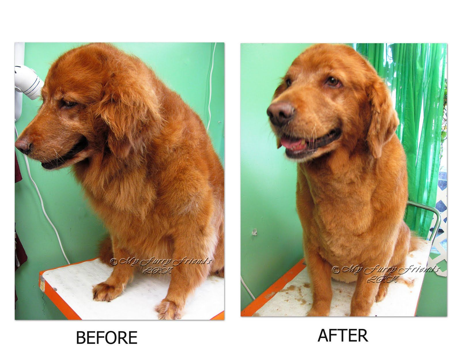 Red golden retriever shaved