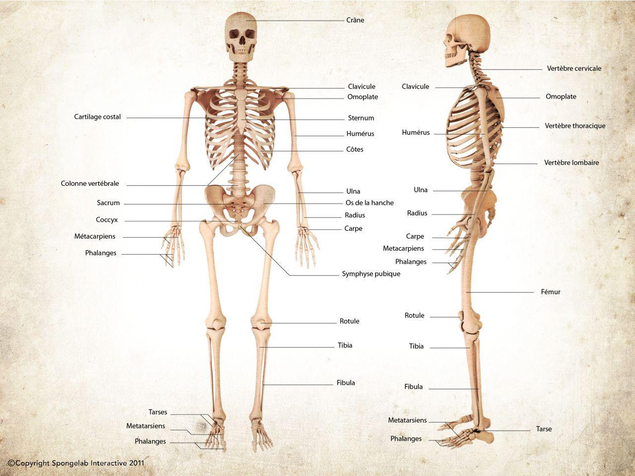 Squelette humain (antérieur | squelette | Pinterest