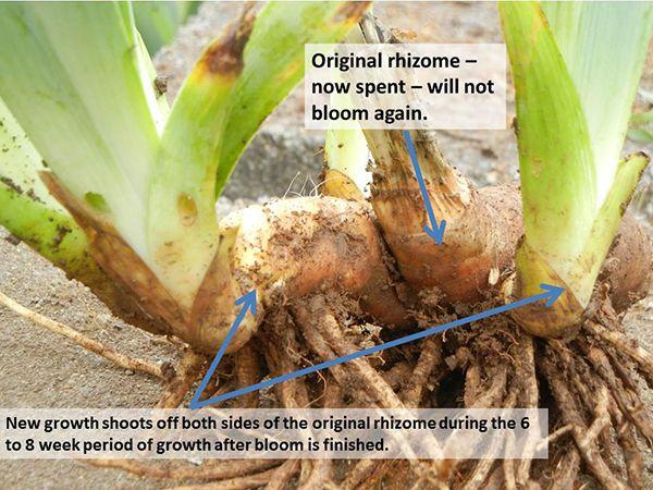 Saving Overgrown Iris Iris Garden Growing Irises