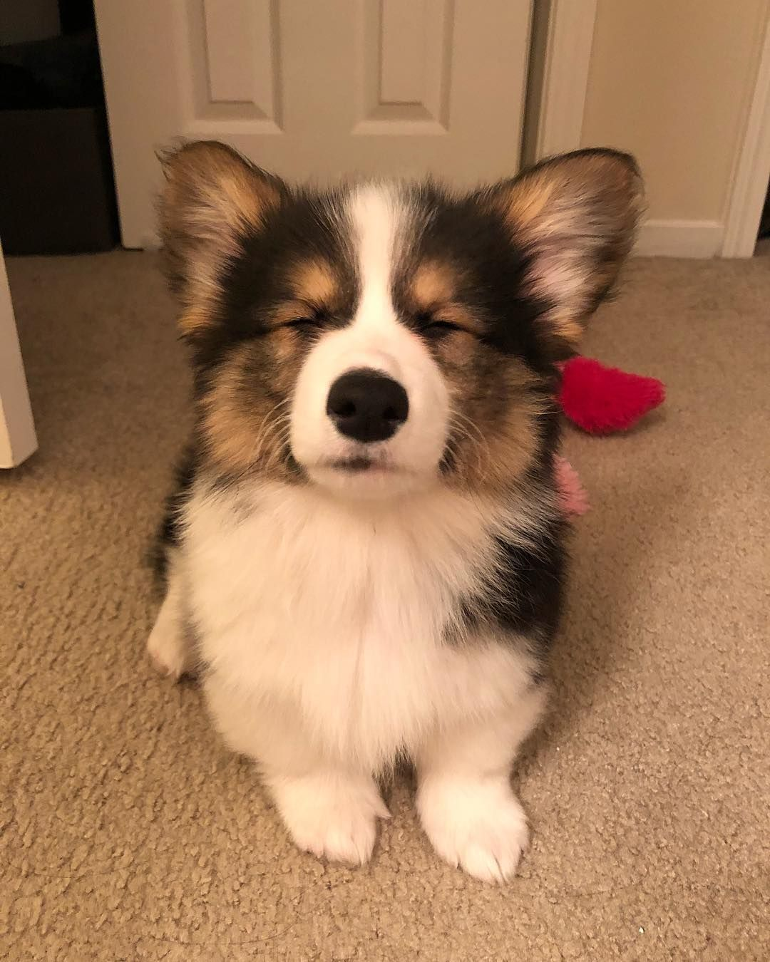 34 Likes 2 Comments Pippin The Corgi Foolofapup On Instagram