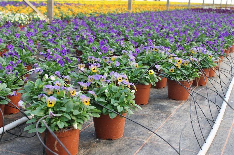 Viola cornuta  Copyright © FLORPAGANO di A. Pagano - Ruvo di Puglia (Ba) www.florpagano.com