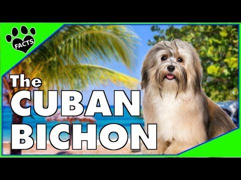 Dogs 101 Havanese The Cuban Bichon Animal Facts Youtube