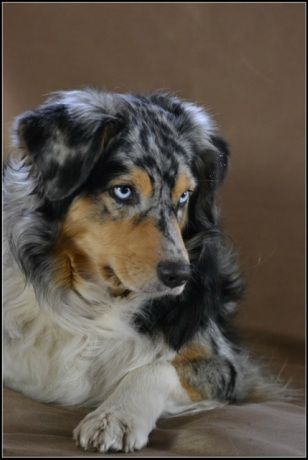 Foto I Love This Aussie Blue Merle With Dark Face Australian