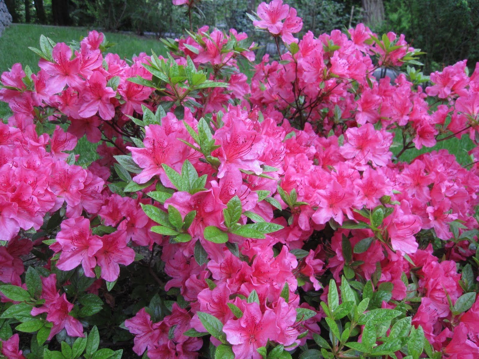 how to care for an azalea bush indoors Flowering shrubs