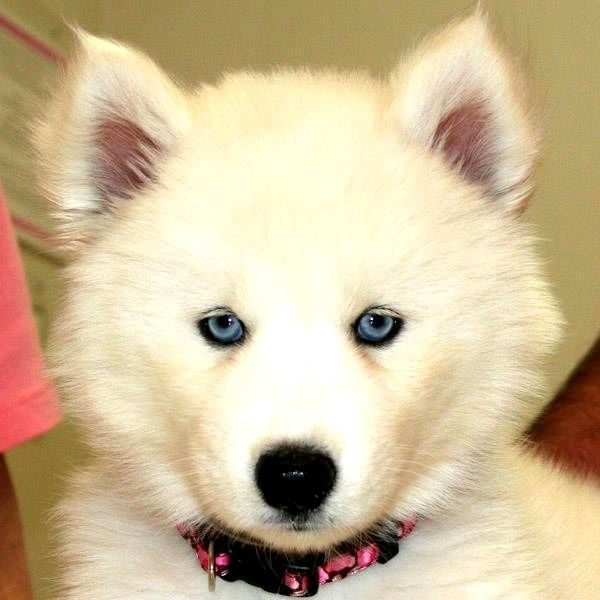 Popular Siberian Husky Blue Eye Adorable Dog - 2ae6bfddc022366e4fcd7b6f541901ec  Perfect Image Reference_894185  .jpg