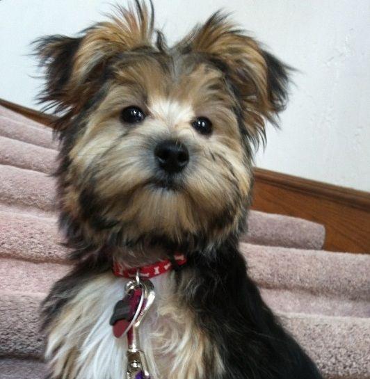 Morkie Hundar Pinterest Morkie puppies, Dog mixes