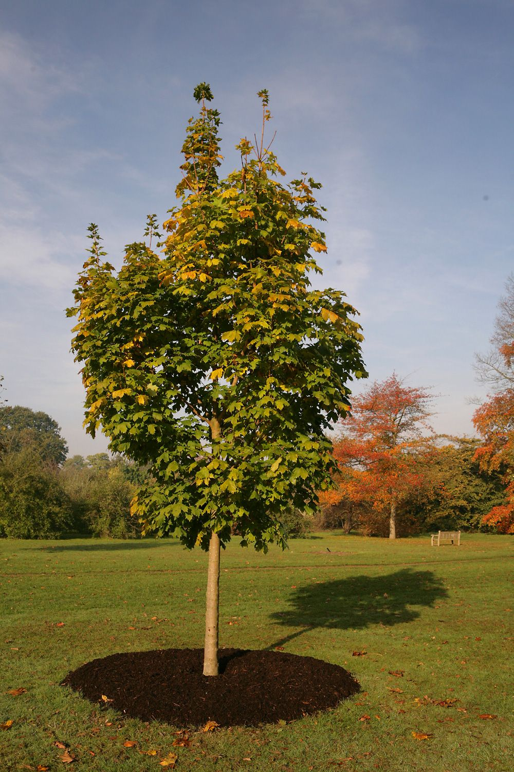 Acer platanoides cleveland 15 20 m acer platanoides - Arce platanoide ...