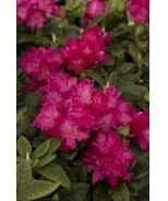 Hellikki Rhododendron (Rhododendron x 'Hellikki' (H-1)) - Monrovia - Hellikki Rhododendron (Rhododendron x 'Hellikki' (H-1))**hedge**